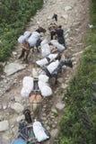I cavalli caricati con bagaglio scalano la montagna Fotografia Stock