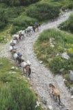 I cavalli caricati con bagaglio scalano la montagna Immagini Stock