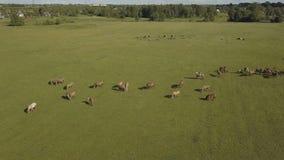 I cavalli che pascono è pascolo verde I cavalli pascono in un campo Vista aerea sul cavallo marrone su un prato verde stock footage