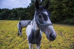 I cavalli che pascono su un pascolo rurale vicino agli animali del bestiame della foresta si alimentano di cortile Immagini Stock