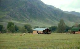 I cavalli e le mucche sono in vasto dei prati di Altai Fotografia Stock