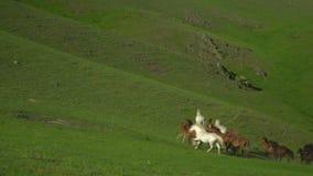 I cavalli ed i cavalli camminano su un'erba verde Paesaggio della montagna archivi video