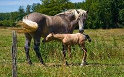 I cavalli ed i puledri liberano Fotografia Stock