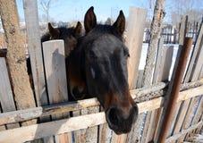 I cavalli, guardanti dal recinto per bestiame Fotografia Stock Libera da Diritti