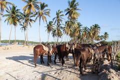 I cavalli hanno legato alla spiaggia di Macao a nord di Punta Cana fotografia stock