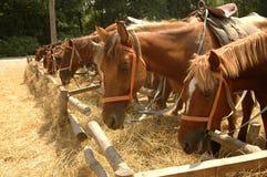 I cavalli mangiano il fieno sull'iarda Immagine Stock Libera da Diritti