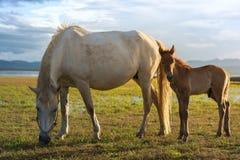 I cavalli pascono la sera Immagini Stock