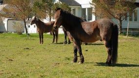 I cavalli pascono liberamente vicino alla casa norway stock footage