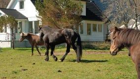 I cavalli pascono liberamente vicino alla casa norway archivi video
