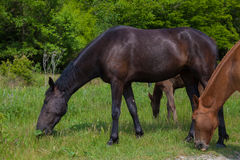 I cavalli pascono nel prato nella foresta fotografie stock libere da diritti