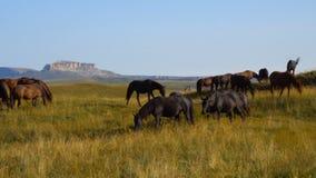 I cavalli pascono sui pendii delle montagne di Caucaso in Russia video d archivio