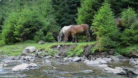 I cavalli pascono vicino ad un fiume della montagna stock footage
