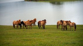 I cavalli selvaggii ed il cavallino vivono nella parte 10 delle steppe del prato immagini stock