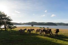 I cavalli selvaggii mangiano il vetro dal lago Immagine Stock