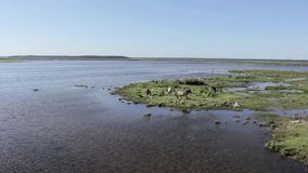 I cavalli selvaggii pascono e mangiano l'erba nel prato sul lago, Lettonia archivi video