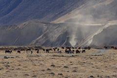 I cavalli selvaggii pascono nelle montagne nevose su un autunno soleggiato fotografie stock libere da diritti