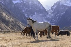 I cavalli selvaggii pascono nelle montagne nevose su un autunno soleggiato immagini stock libere da diritti