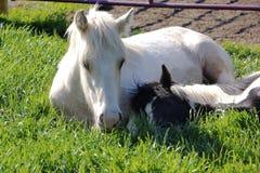 I cavalli sono cuscini comodi immagine stock libera da diritti