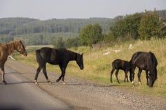 I cavalli stanno camminando Grande campo di autunno con gli alberi lontano e le nuvole nel cielo blu Strada asfaltata viaggiare Immagini Stock