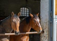 I cavalli stanno stando nella stalla fotografia stock libera da diritti
