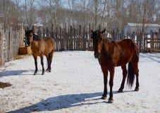 I cavalli, stanti nel recinto per bestiame Immagini Stock Libere da Diritti