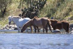 I cavalli vagano libero e selvaggio lungo il fiume più a bassa percentuale di sale Immagine Stock