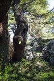 I cedri antichi nella biosfera di Shouf riservano le montagne, Libano fotografia stock libera da diritti
