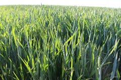 I cereali maturano nei campi Fotografie Stock Libere da Diritti