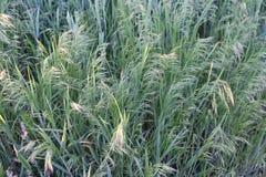 I cereali maturano nei campi Immagine Stock Libera da Diritti