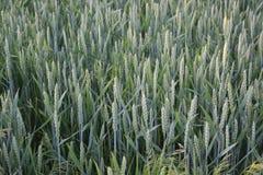 I cereali maturano nei campi Fotografia Stock