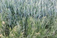I cereali maturano nei campi Immagini Stock Libere da Diritti