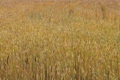 I cereali maturano nei campi Fotografie Stock