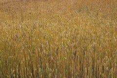 I cereali maturano nei campi Immagini Stock