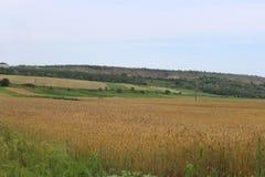I cereali maturano nei campi Fotografia Stock Libera da Diritti