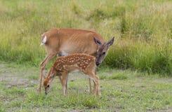 I cervi dalla coda bianca fawn e daina che pasce nel campo erboso Fotografia Stock