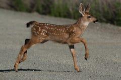 I cervi dalla coda bianca fawn impennarsi attraverso la strada con le orecchie adornare Immagini Stock Libere da Diritti