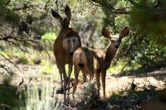 I cervi dalla coda bianca nella foresta degli Stati Uniti immagini stock libere da diritti