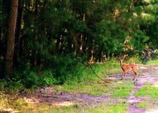 I cervi del bambino hanno preso un percorso Fotografia Stock