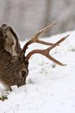 I cervi di mulo buck il pascolo immagine stock libera da diritti