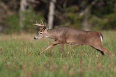 I cervi di Whitetail buck il funzionamento attraverso il prato immagine stock