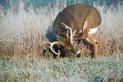 I cervi di Whitetail buck il graffio dei sui antlers Fotografia Stock Libera da Diritti