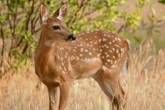 I cervi di Whitetail fawn la condizione nell'erba alta in primavera Immagini Stock