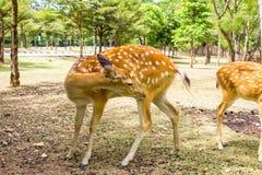 I cervi hanno modellato i cervi adorabili del punto nel selvaggio Immagini Stock Libere da Diritti