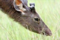 I cervi maschii Fotografia Stock Libera da Diritti