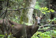I cervi molto insoliti hanno trovato nel legno Upstate di New York Fotografie Stock Libere da Diritti