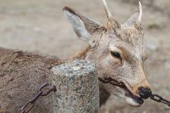 I cervi mordono una catena nel parco Immagini Stock