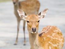 I cervi a Nara parcheggiano, il Giappone Fotografie Stock