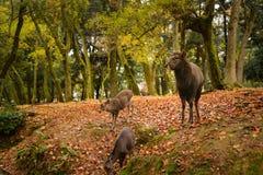 I cervi a Nara parcheggiano, il Giappone fotografia stock libera da diritti