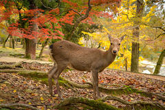 I cervi a Nara parcheggiano, il Giappone fotografia stock