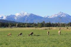 I cervi pascono sotto le Montagne Rocciose Immagine Stock Libera da Diritti